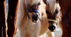 יש אטרקציות ליום הולדת – סוס פוני ליום הולדת – סוסים מינאטורים