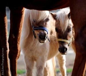 סוס פוני ליומולדת מיניאטוריים