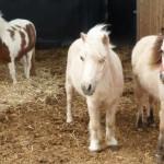 סוס פוני ליומולדת - סוסים מיניאטורים - להזמנה: 052-2514010