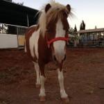 שגית - סוס פוני מיניאטורי ליום הולדת - להזמנה: 052-2514010
